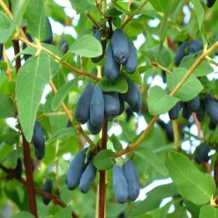 Zojka Bal Yemişi (Honeyberry)