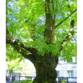 Çınar Ağacı Fidanı