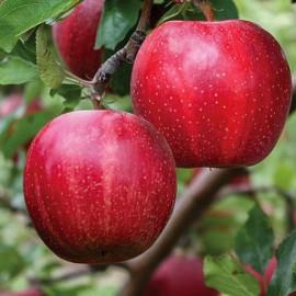Buckeye Gala Elma Fidanı