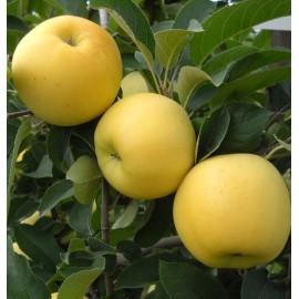 Golden Delicious Elma Fidanı