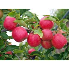 Pink Lady Elma Fidanı