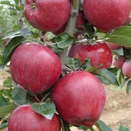 Starking Elma Fidanı
