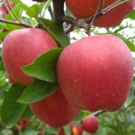 Amasya Elma Fidanı