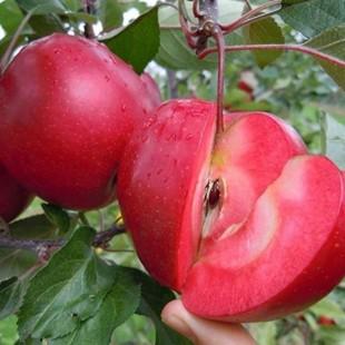Red Love Elma Fidanı