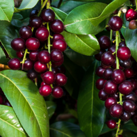 Karayemiş (Laz Üzümü) Prunus LaurocerasusFidanı