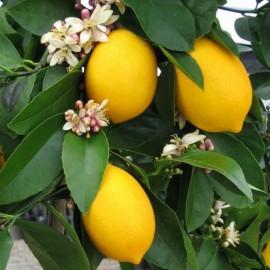 Mayer Limon Fidanı