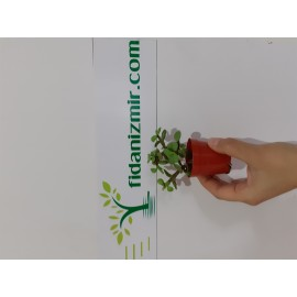 Kaktüs Crassula Ovata Para Çiçeği