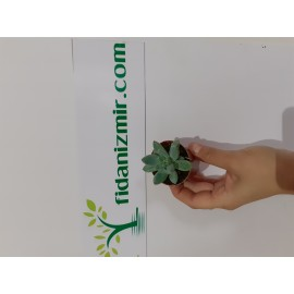 Sukulent Pachyphytum Compactum