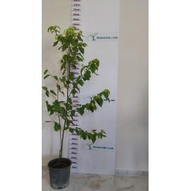 Japon Kuru Üzüm (Şeker Ağacı) Fidanı