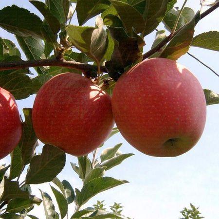Elma Fidanı